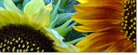 # P6145 Sunflowers - Two Centers Panorama